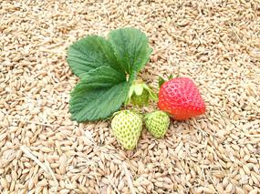 鲜草莓稻谷图
