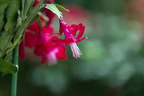 红色蟹爪莲