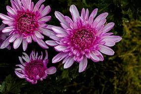 美丽的粉色菊花