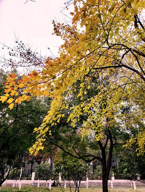 形态优美的金黄枝叶