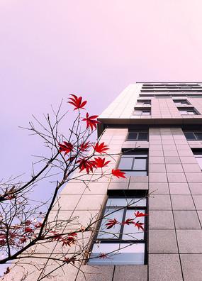 一枝红枫和写字楼仰拍