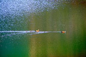 湖水和野鸭