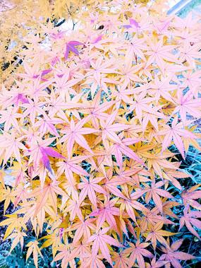 美丽的黄叶