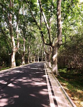 梧桐成荫的道路
