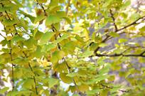 银杏树叶片