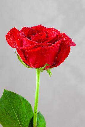 一朵沾满水珠的红色鲜艳的玫瑰花