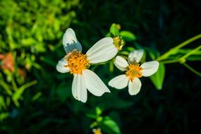白色景观菊花