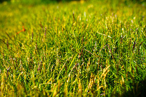 实拍草坪小草