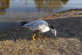 散步的大雁