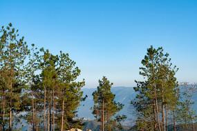 蓝天下的松树林