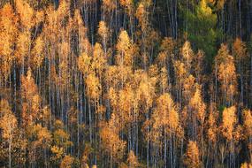大兴安岭茂密的金色树林