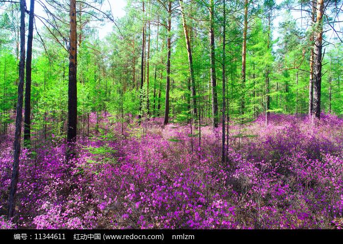 大兴安岭森林春季花海 图片
