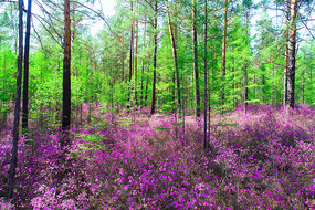 大兴安岭森林春季花海