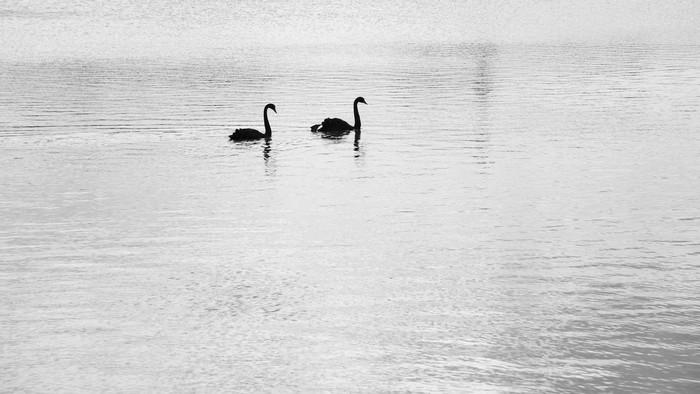 情侣黑天鹅