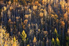 金秋茂密的金色树林