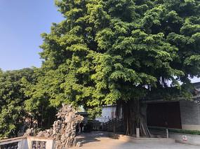 佛山祖庙里的大榕树