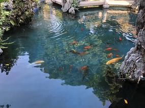 佛山祖庙水池里的金鱼
