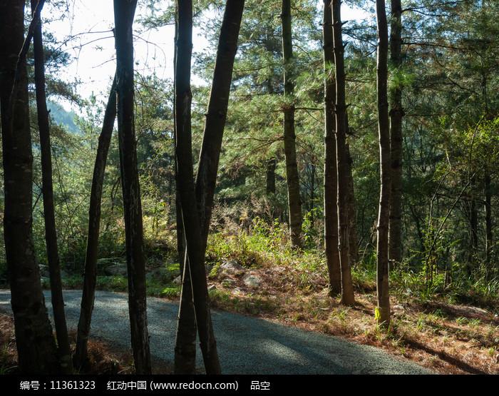 森林中高大的树木图片