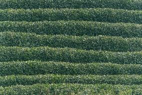 绿色茶田图片