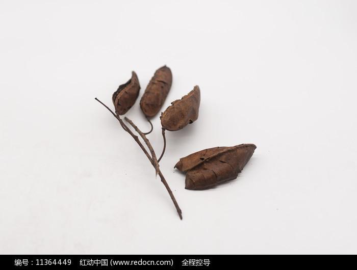 干裂的野生豆荚图片
