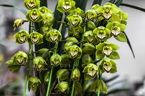 绿色大花惠兰