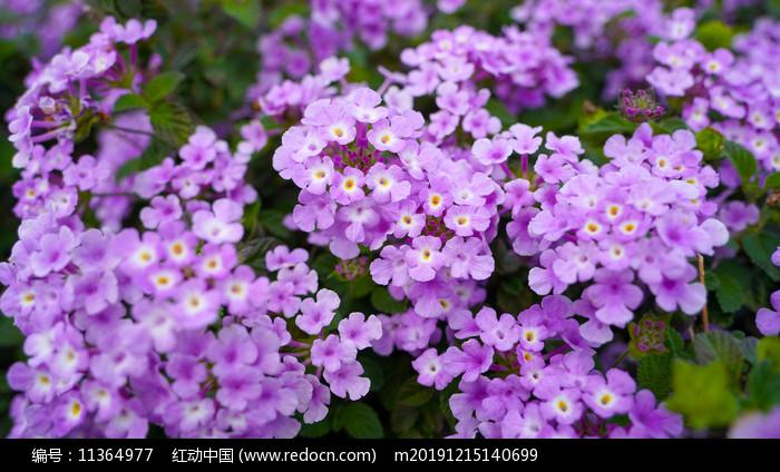 紫色花朵 图片