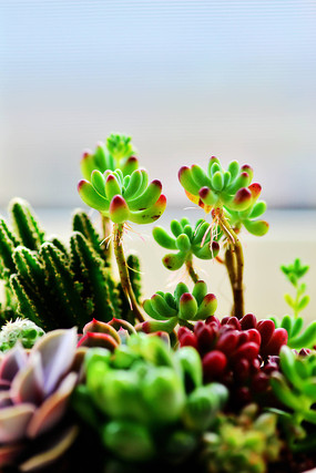 树立的多肉植物