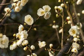 白色梅花朵朵开