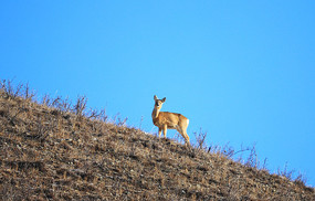 大兴安岭林区野生动物-狍子