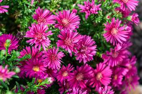 盛开的荷兰菊花