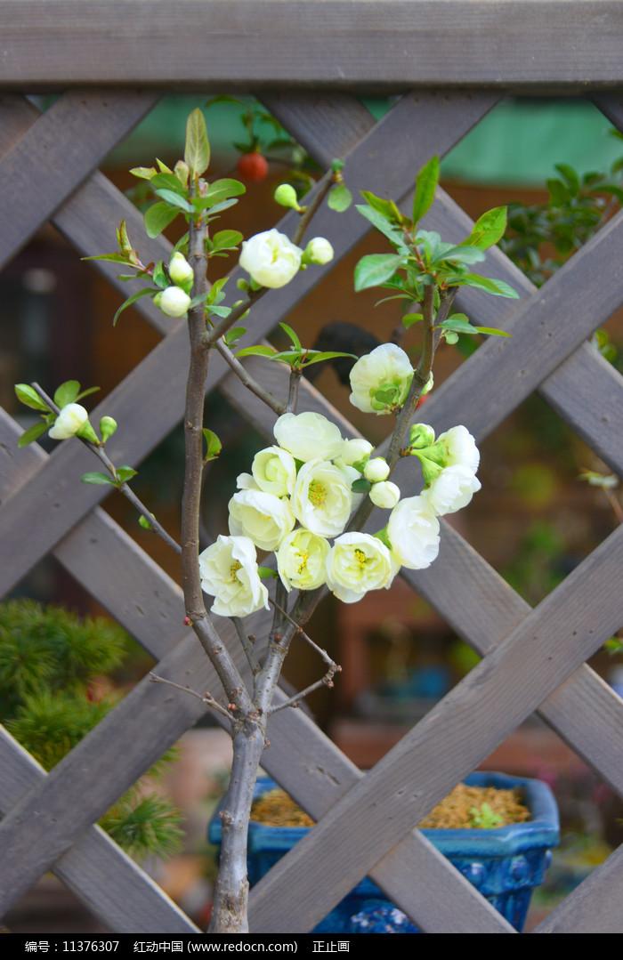 白花贴梗海棠盆栽摆件图片