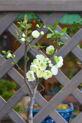白花贴梗海棠盆栽摆件