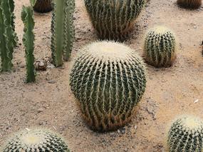 沙漠仙人掌