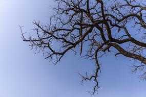 仰拍冬天的刺槐樹