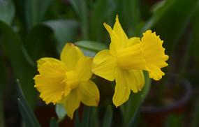 花卉观赏植物 小花黄水仙花朵