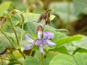 豆科植物豆薯花朵