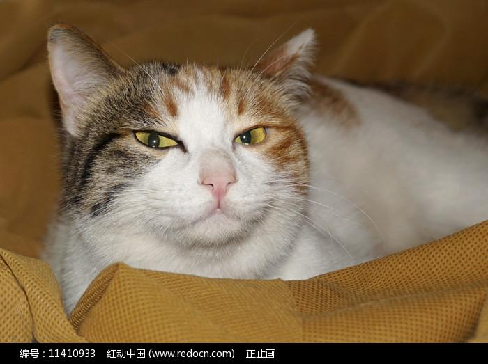 玳瑁猫图片