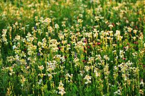 野生花卉麦瓶草