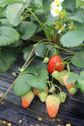 草莓园草莓