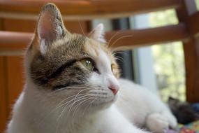 宠物猫-印花白猫