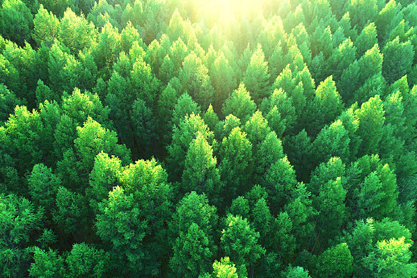 航拍大兴安岭林区落叶松松林
