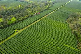 俯瞰绿色茶园
