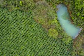 绿色环保茶园图片