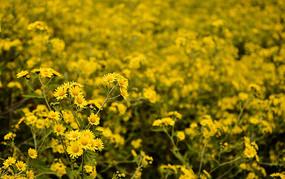 秋天黄色的小菊花