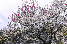 一树二色的碧桃花图片