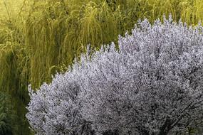 垂柳背景盛开的红叶李图片