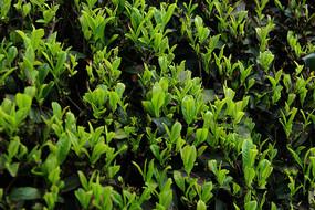 茶园绿叶嫩芽
