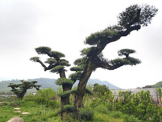 园艺橄榄树