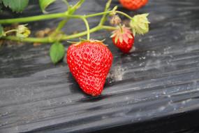 一颗红草莓