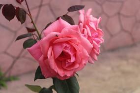 粉色的玫瑰花特写